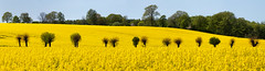 The Willowing Way (claustral) Tags: raps rapeseed canola field polledwillows willows trees yellow green sweden skåne panorama i500 explore20160516 interestingness123 summer