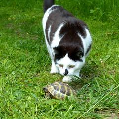 Begegnung (isajachevalier) Tags: cat katze haustier tier schildkrte