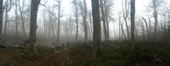 Pano en el bosque de lengas (Mono Andes) Tags: chile trekking backpacking bosque andes lengas parquenacional chilecentral regindelaaraucana parquenacionalvillarrica