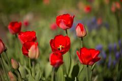 20160508IMG_7723_Aed (Enn Raav) Tags: flowers garden spring tulip bloom blooming aed tulp kevad lilled itsemine ied