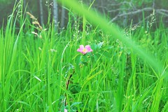 Nature Abstract Calming Tranquility Grass Pretty Flowers Wild Flowers Pink Flowers Wild Rose Wildlife & Nature Outdoors Dreamy Landscape Prairie Scenes (Shannon F Gorman) Tags: grass landscape outdoors calming tranquility dreamy wildrose wildflowers pinkflowers prettyflowers wildlifenature prairiescenes natureabstract