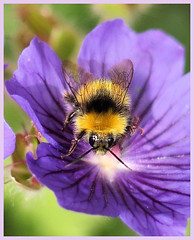 Bee on purple petals (gazzas_pics) Tags: life orange macro green nature field yellow closeup canon insect iso100 still dof hand purple bokeh availablelight violet bee tiny held depth 50mmprime gabphotography gabpics