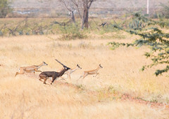 Beauty in Flight! Blackbucks (SaiKiranKanuri) Tags: flight run herd blackbuck jayamangali