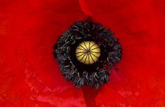 Poppy (joeke pieters) Tags: flower poppy wildflower klaproos papaver bloem pavot mohn panasonicdmcfz150 1270463
