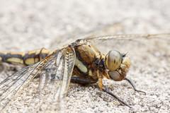 dragonfly  (hiroshi_arai) Tags: macro nature animal japan canon insect dragonfly outdoor  macrolens  60d