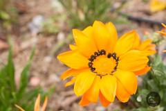 Amarillo (f_campos) Tags: ugijar alpujarra granada flores jardn fernando campos lopez naturaleza 35mm arte bonito precioso