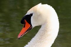 MUTE SWAN (Bradders62) Tags: southwest nature birds swan wildlife sigma devon seaton muteswan wildbirds britishbirds canoneos7d sigma150500mmf563dgoshsmlens