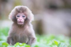 Newbon Baby 2016 in Jigokudani (Masashi Mochida) Tags: baby snow animal japan monkey spring wildlife nagano jigokudani snowmonkey