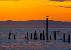 The last gull (strupert) Tags: seagulldeparture almostmidnightsun midnight remnants birds norway norge 70200mm d810 mist sunset seascape nikon goldenhour gull seagull poles trondheim trndelag hommelvik