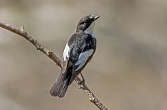 Pied Flycatcher....... (jefflack Wildlife&Nature) Tags: nature birds countryside woodlands wildlife avian flycatcher songbirds wildbirds piedflycatcher flycatchers