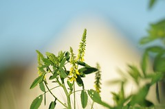Yellow flower (horschte68) Tags: tair11a135mm28 yellow flower nature meadow grassland bokeh dof depthoffield