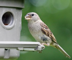 Excuse me its dinner (Radar Boy) Tags: bird female feeder finch housefinch songbird
