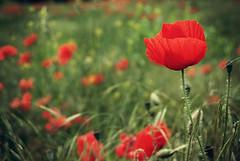 Common poppy (Sareni) Tags: light red green colors field grass spring serbia may mak vojvodina twop srbija 2014 banat polje trava prolece boje commonpoppy poljana svetlost crvena zelena livada alibunar juznibanat sareni utrina