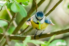 Blue Tit Juvenile (cyanistes caeruleus) (phat5toe) Tags: nature birds nikon wildlife feathers juvenile bluetit avian wigan flashes d300 cyanistescaeruleus greenheart lancashirewildlifetrust sigma150500