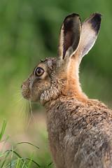 Brown Hare (Mr F1) Tags: wild animal wildlife ears dorset brownhare lepuseuropaeus johnfanning