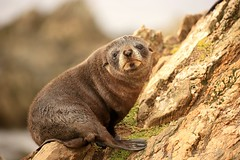 New Zealand Fur Seal Pup Kekeno Point Munning Chatham Island New Zealand (eriagn) Tags: ocean travel sea newzealand bird nature mammal marine rocks wildlife beak young naturalhistory sharp pacificocean seal pup shelter biology protection weka furseal sealpup schist plummage chathamislands newzealandfurseal chathamisland kekeno fursealcolony ngairelawson ngairehart pointmunning arctocephalusforesteri