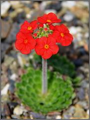 Androsace bulleyana (helkifoto) Tags: red rot rockery steingarten alpineflowers alpinum androsace alpinepflanzen rotsplanten androsacebulleyana mannschild helkifoto