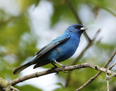 Indigo Bunting. (Gillian Floyd Photography) Tags: blue bird indigo bunting
