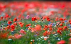 It Pops (claustral) Tags: flowers red summer blur field composite skne dof sweden bokeh stack poppies midsommar 2016 r blklint