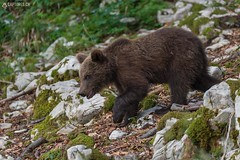 Brown bear 16 - Slovenia (Sinar84 - www.captures.ch) Tags: 2016 animal bear black blue brown brownbear cliff europa juni karst kocevska notranjska notranjskaregionalpark orange red rock slovenia slovenianbearscom summer trees white