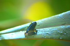 A #frog just pondering. #Nikon (bobbymesa) Tags: june 03 2016 1200pm a frog just pondering nikon