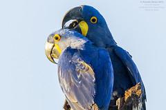Hyacinth Macaw (Anodorhynchus hyacintinus) Pantanal 2013 (Ricardo Bitran) Tags: brazil macaw pantanal hyacinth anodorhynchus hyacinthinus