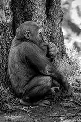 Joanne (ToddLahman) Tags: blackandwhite canon blackwhite gorilla joanne safaripark escondido canon100400 westernlowlandgorilla sandiegozoosafaripark canon7dmkii babyjoanne