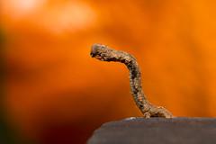 _MG_3576 (Daniel ResGo) Tags: naturaleza color macro nature canon colombia gusano insecto macrofotografa