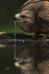 Eagle (AYMAN-ALKANDERI) Tags: bird eagle kuwait ayman  hungari    alkanderi  alkandari