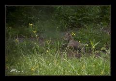 Coquitlam Coyote TNG (the_coprolite) Tags: coyote canada nikon bc britishcolumbia sigma d750 coquitlam portcoquitlam canislatrans 120400mm