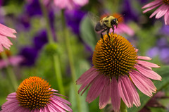 Flight (mikemcnary) Tags: pink summer orange plant flower color nature floral yellow insect natural wildlife sting southcarolina bee charleston coneflower pollen