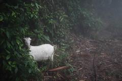 Sa Pa 15 (gsamie) Tags: winter mist color rain fog canon goat vietnam sapa hmong t3i 600d gsamie guillaumesamie