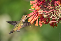 1T0A7035 -  Rufous Hummingbird (Crisp Image Photography) Tags: flower nature birds hummingbirds honeysuckle rufoushummingbird wildlifebritishcolumbia
