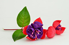 Reclining Fuchsia (njk1951) Tags: pink summer stilllife plant flower green leaves closeup purple blossoms fuchsia buds trio blooms pinkpurplefuchsia fuchsiatrio recliningfuchsia