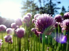 Sunrise and Chives (nikagnew) Tags: morning sun plant flower green garden spring backyard novascotia purple lensflare chives sunflare