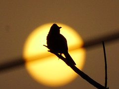 Monsoon waiting ! (rick_toor) Tags: sunset sun india bird nature silhouette evening asia flickr outdoor wildlife indian sony hobby monsoon punjab birder chandigarh treebranch naturephotography bulbul redventedbulbul sonydschx400v