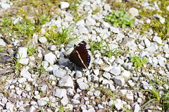 Trauermantel (Aah-Yeah) Tags: beauty butterfly bayern mourning cloak schmetterling achental nymphalis chiemgau antiopa trauermantel tagfalter marquartstein comberwell