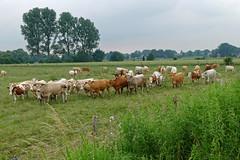 Herdentrieb - 2016 - 0005_Web (berni.radke) Tags: cows bovine khe rinder herde herdinstinct herdentrieb