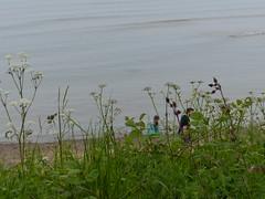 Trying to catch a glimpse of Kane, Rebe3cca and Gabi on the beach! (FloraandFauna_2) Tags: sea sky beach grass sand headland anglesey lligwy
