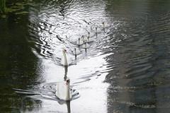 Zwanengezin met 8 kinders (Olga and Peter) Tags: nederland swans diemen zwanen fp1120050