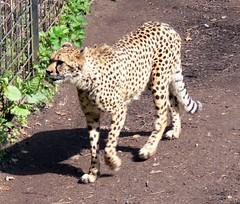 Sdafrikanischer Gepard (Acinonyx jubatus jubatus) P1000906 (martinfritzlar) Tags: cat zoo cheetah katze tiergarten tier nrnberg gepard felidae sugetier acinonyx jubatus raubtier