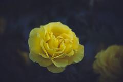 In my front garden 3 (Sean Lowcay (sealow08)) Tags: nature natural outdoor panasonic panasonicgx7 lumix gx7 dmcgx7 lumixlounge newzealand nz flower flowers yellow