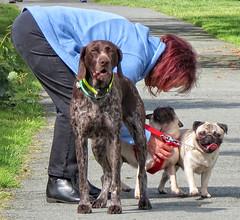 Walkies (moore_gerry) Tags: dogs walking pug