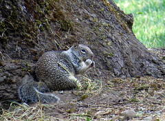 Just a small snack - Common California ground squirrel (Otospermophilus beecheyi), Valley of the Rogue State Park, Oregon, Aug 2015 (Judith B. Gandy) Tags: animals oregon squirrels mammals otospermophilusbeecheyi valleyoftheroguestatepark