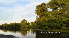 Royal swans on the Royal River - 20160622 London Thames swans PS merge.jpg (PowderPhotography) Tags: sunset white reflection london water thames river landscape swan swans turner oldmaster isleworth londonapprentice oldisleworth powderphotography samsungs6 julianmacedo