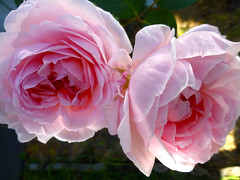 Timeless (enjbe) Tags: pink two rose