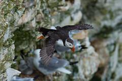 Puffin in flight (Mister Oy) Tags: nature flying wings wildlife yorkshire flight puffin fulmar seabird bridlington davegreen clifftop rspb bemptoncliffs oyphotos oyphotos