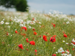 Im Feld .... (c-or^^) Tags: red white rot flora wildflower kamille mohn camomile weis wildblumen inthefield 201506271190825 wildflowermelody