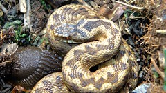 Adder & Slug (Nick Dobbs) Tags: reptile snake heath dorset slug viper adder venomous heathland venom vipera berus