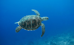 Flying Turtle (Henrik Schfer) Tags: ocean sea water meer underwater turtle diving snorkeling gili marinelife levitating schildkrte tauchen schnorcheln ozean gopro